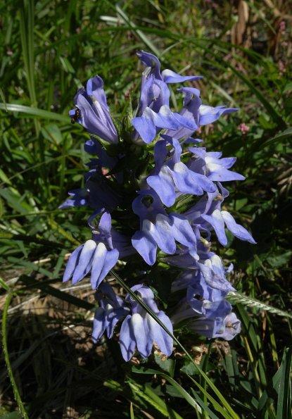 Great Blue Lobelia Lobelia Siphilitica