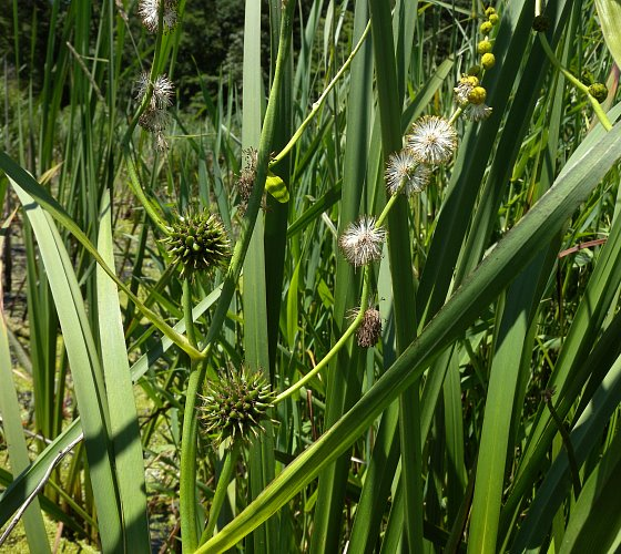 Giant Bur-Reed (Sparganium eurycarpum)