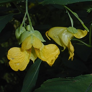 10 seeds Impatiens pallida 'Spotted Touch Me Not/'-Bicolored Yellow flowers