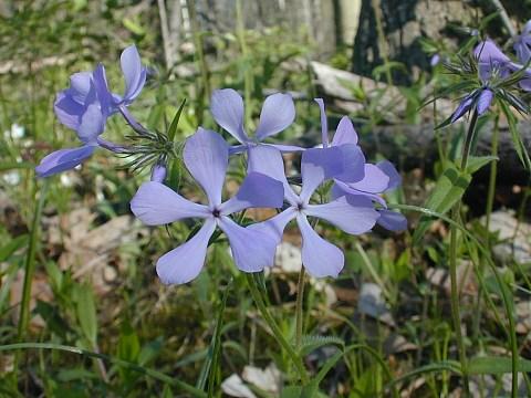 Woodland Phlox Phlox Divaricata Laphamii